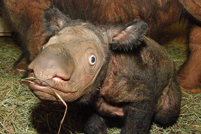 новорожденные носороги