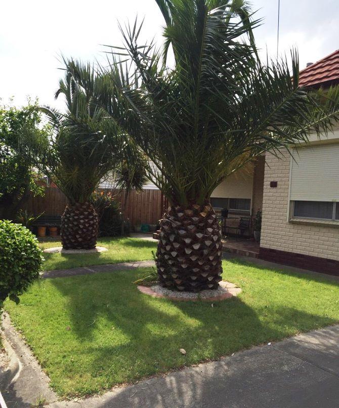 саговая пальма цикас,