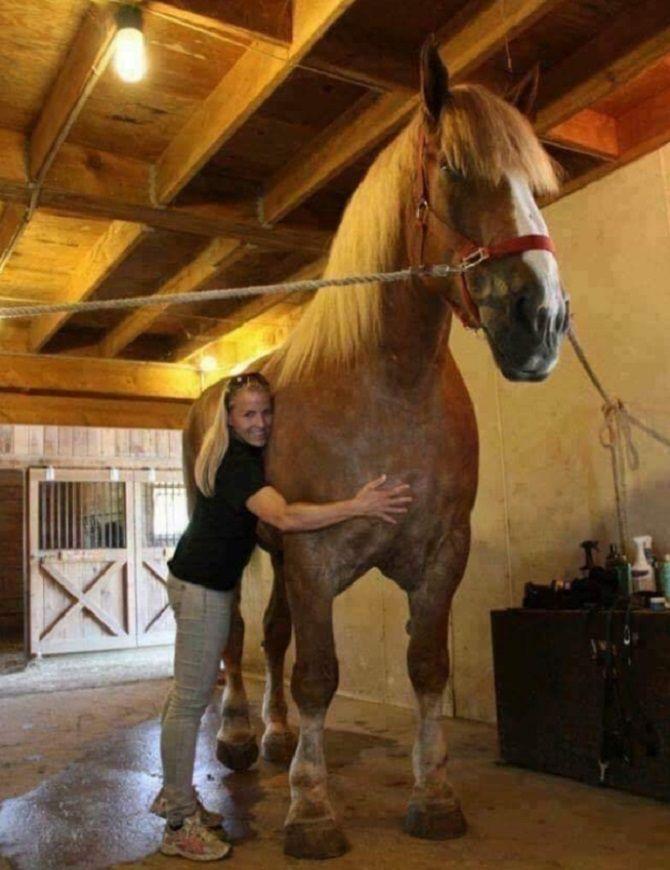 большая породистая лошадь