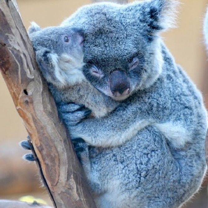 коалы обнимаются