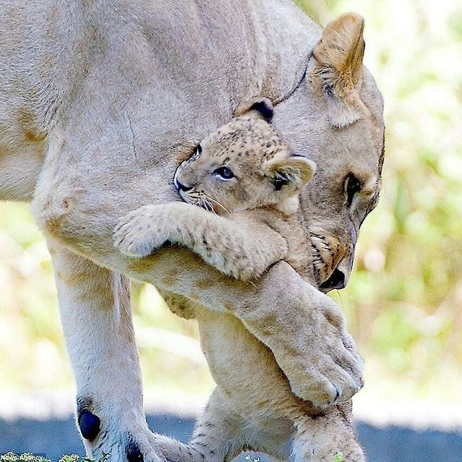 объятия львов