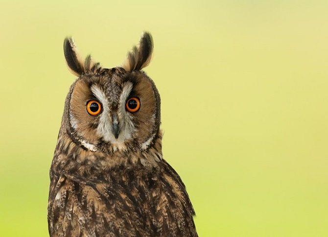 удивленная сова