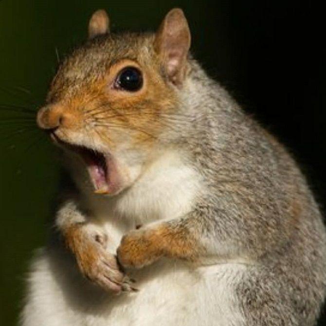 здивована білка