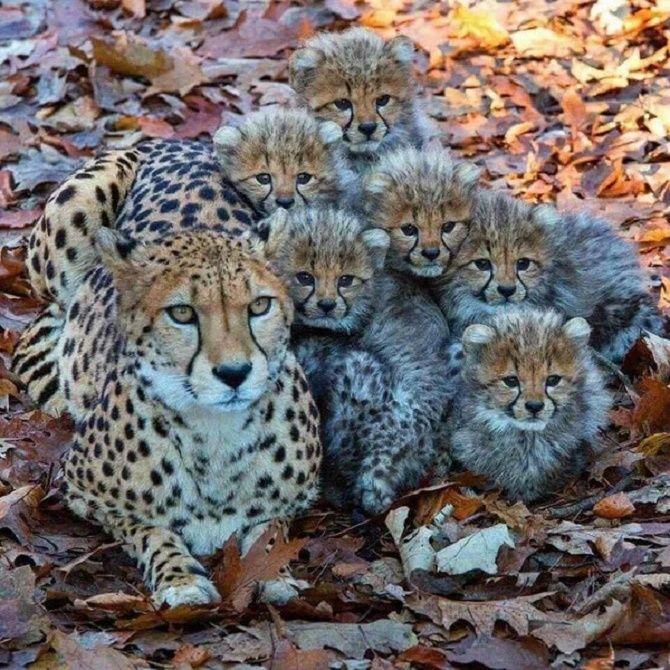 дитинчата гепарда