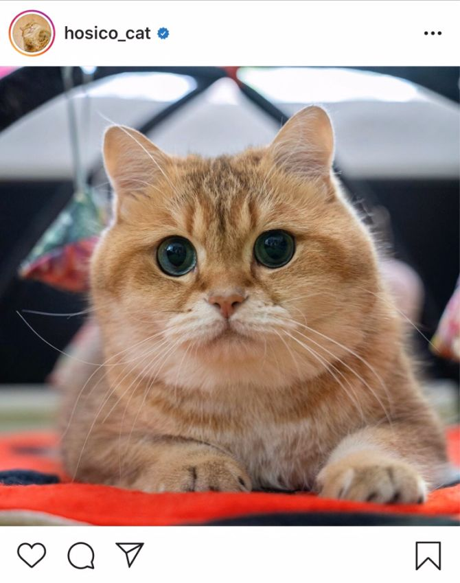 кот хосико