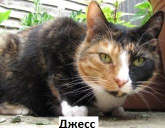 кішка триколірна