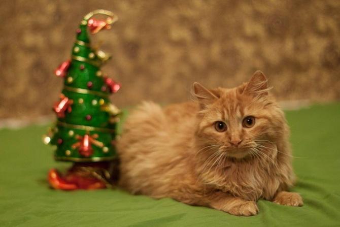 красивый рыжий кот