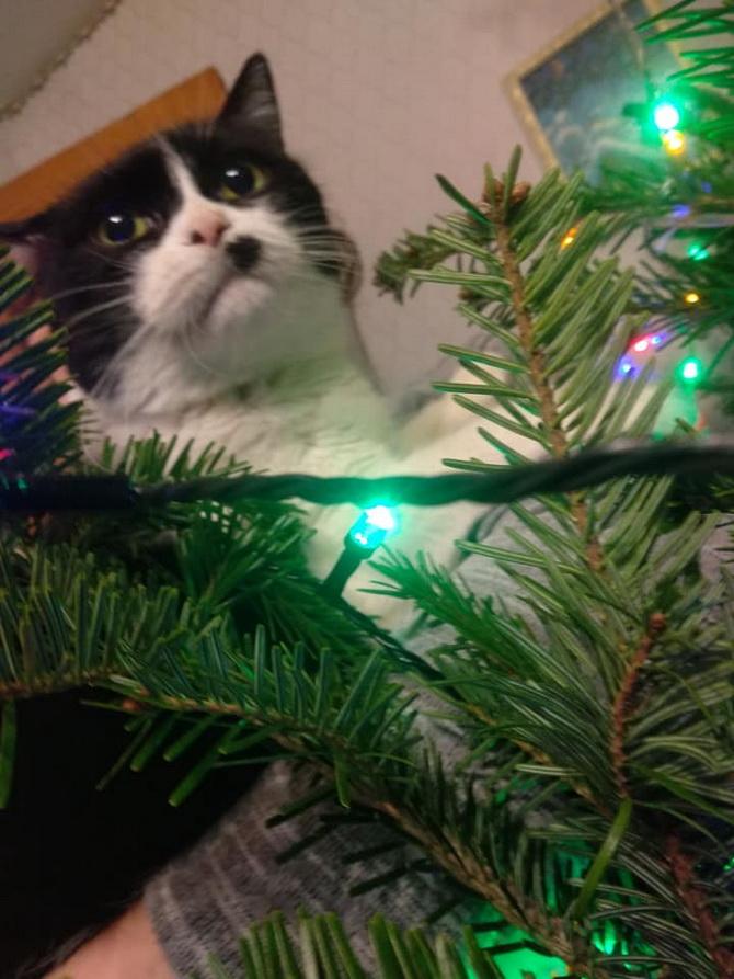 черный кот на елке