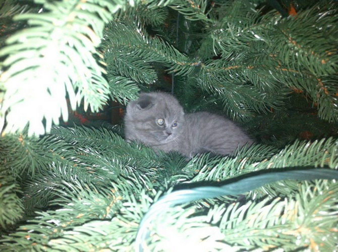 кот между еловыми ветвями