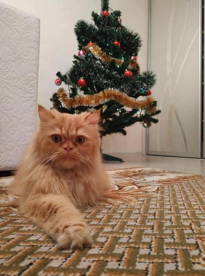 рыжий кот под елкой
