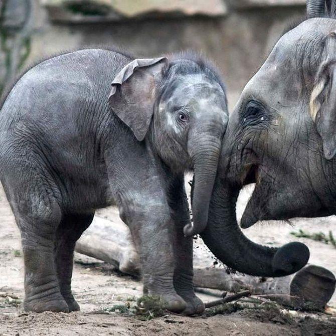 слоны обнимаются