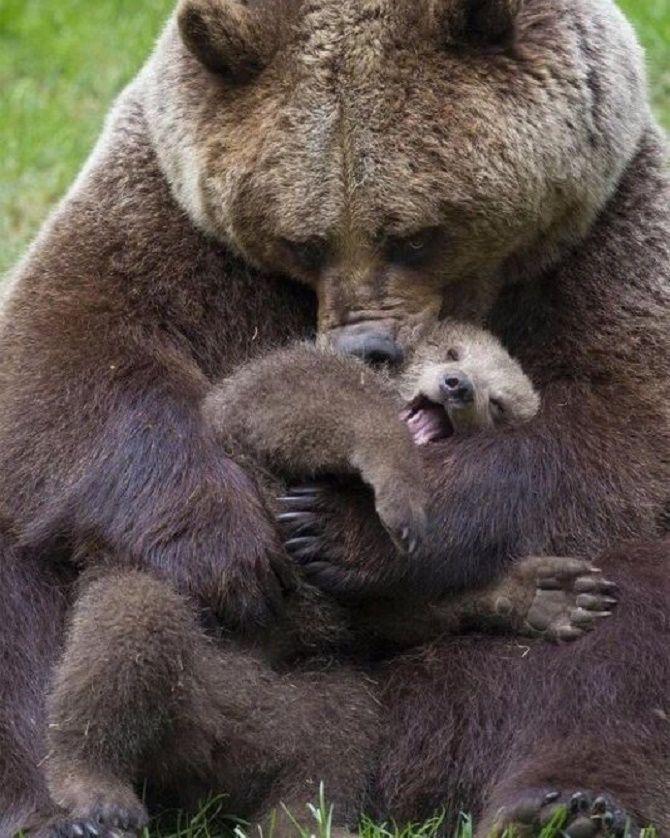 медведи обнимаются