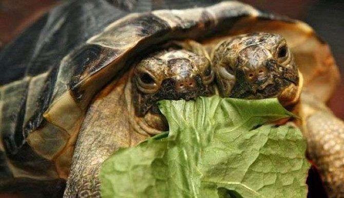 двухголовая черепаха Жанюс