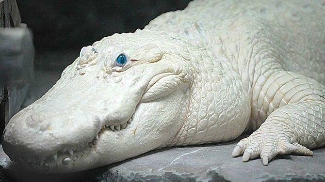 Blue-eyed albino alligator