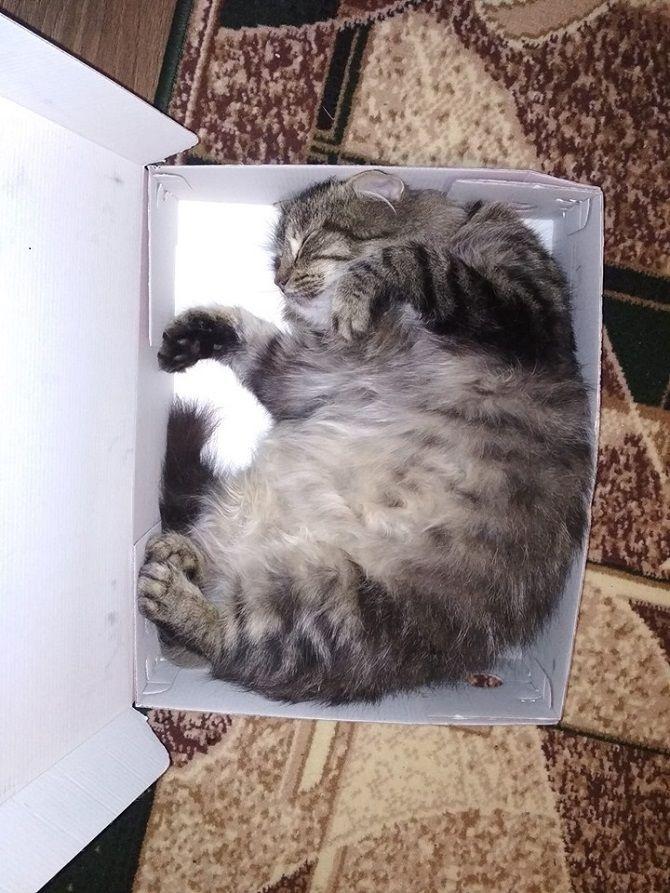 кішка в коробці