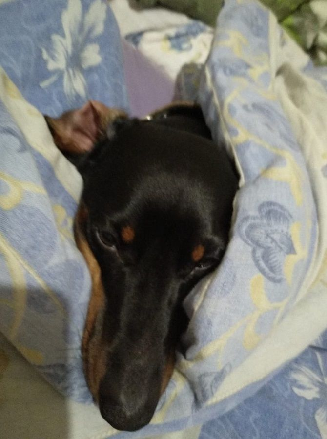 собака в ковдрі