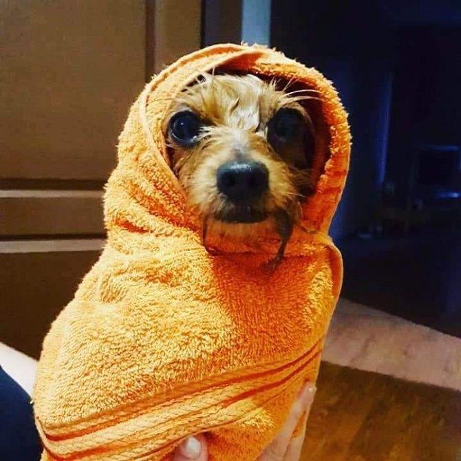 собака в рушнику