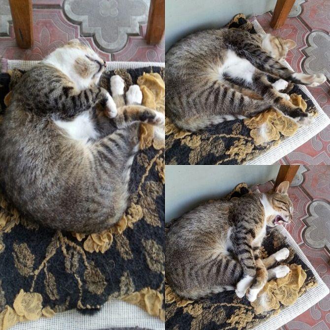 лінива кішка