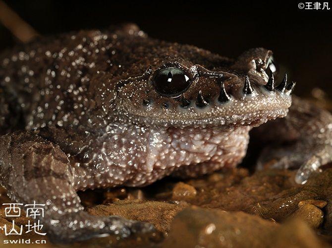 Емейська жаба з шипами