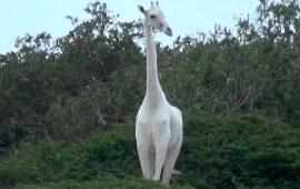 Найкрасивіші тварини альбіноси, які схожі на казкових героїв