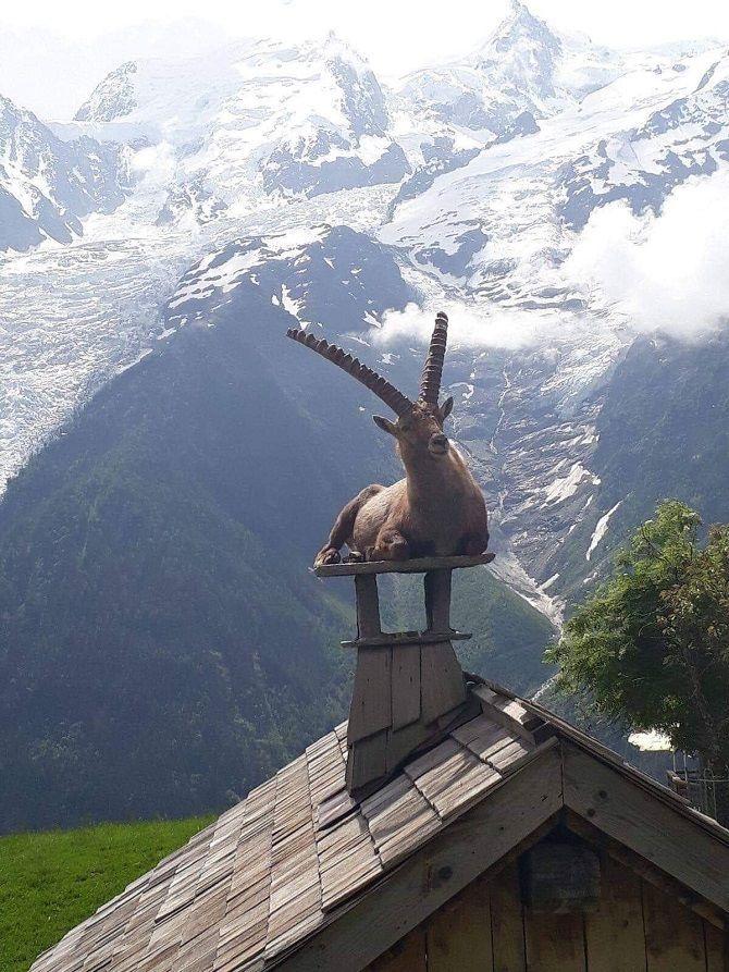 Альпийский козерог