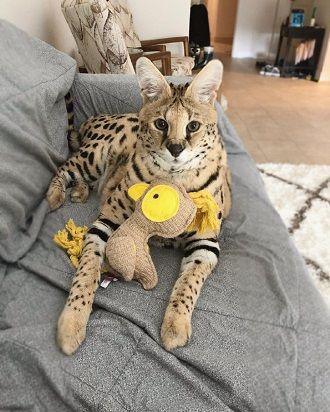 Наймиліші кішки, які дуже прив'язані до своїх іграшок 1