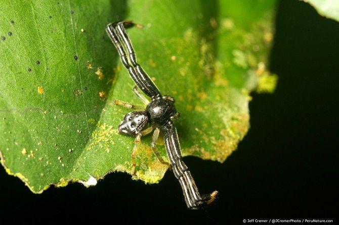 Черный орангутанг паук-краб