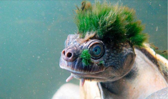 Австралийская черепаха панк-рок