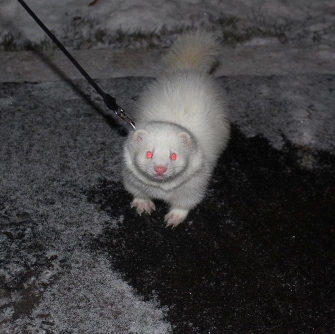 White ferret.