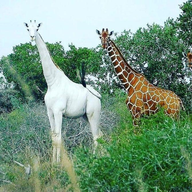 albino giraffes