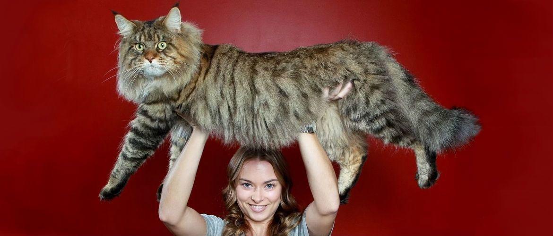 Великі породи кішок: розмір має значення