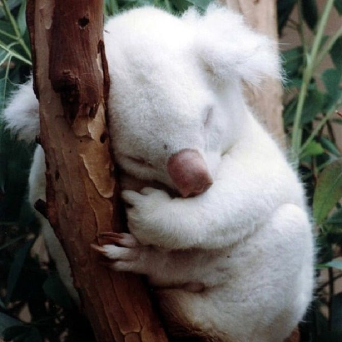 albinos Australian bears