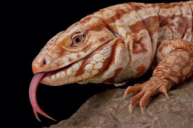 albino lizard