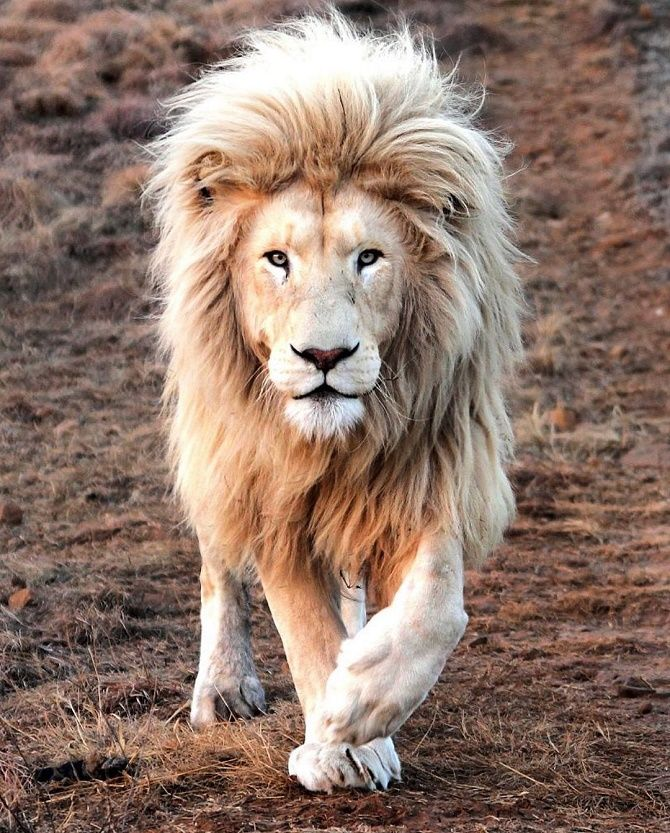 lion albino