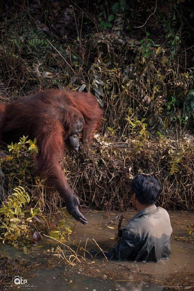 мавпа допомагає людині