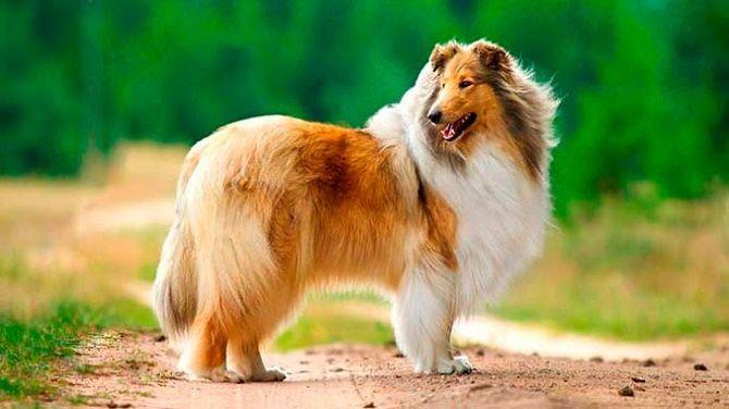 шотландська вівчарка