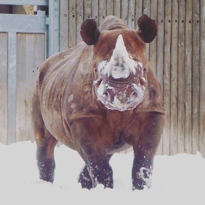 носорог в снегу