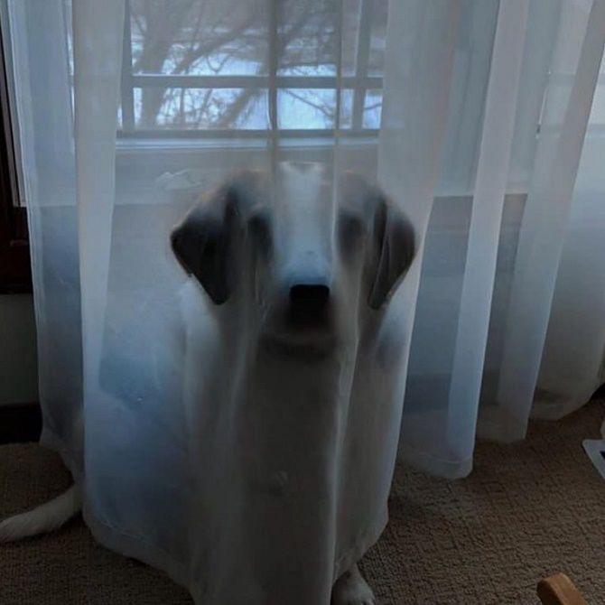 собака за шторой