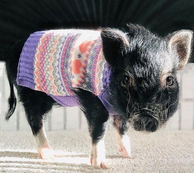 свинья в одежде