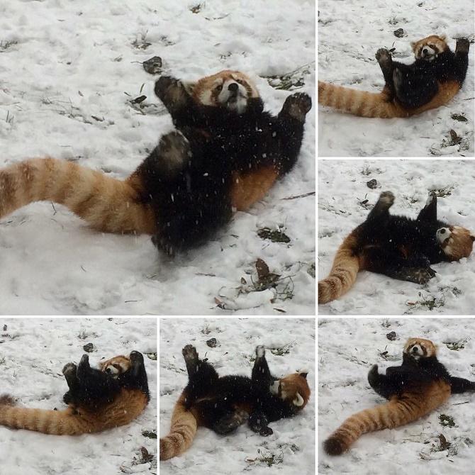енот в снегу