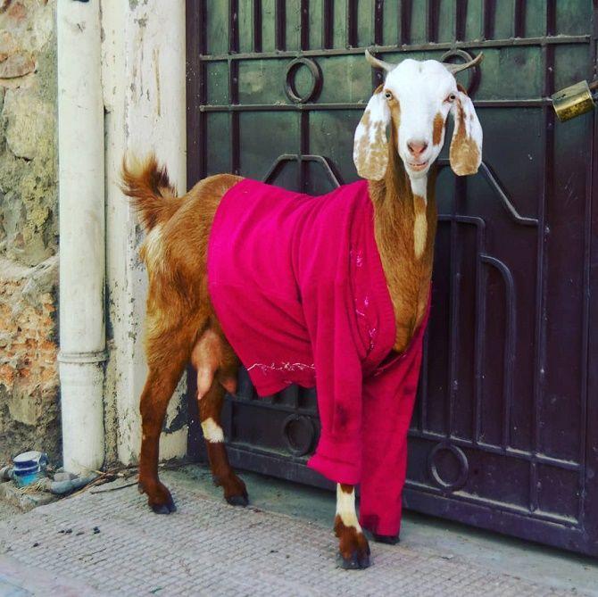 одетые животные