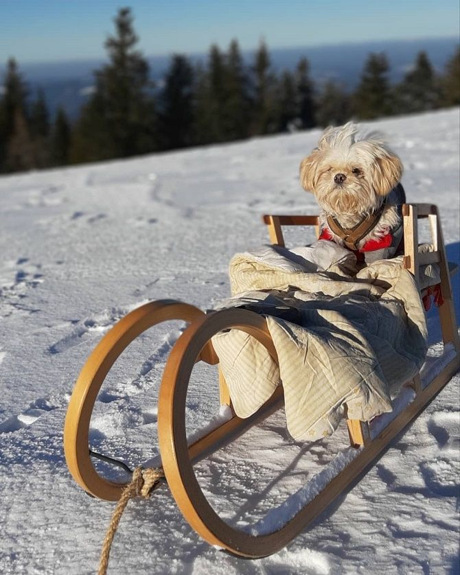собака на санках