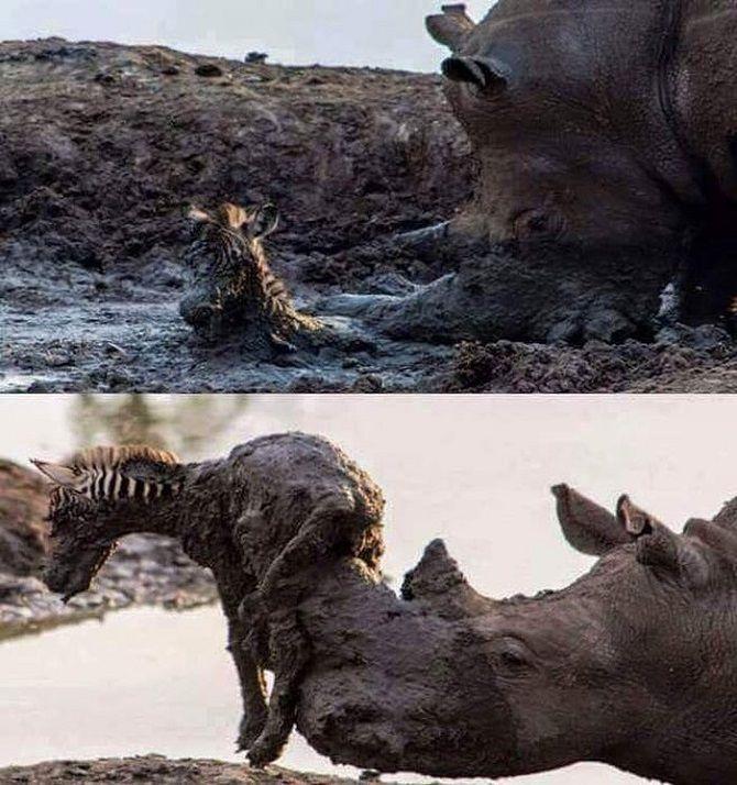 носорог допомагає зебрі