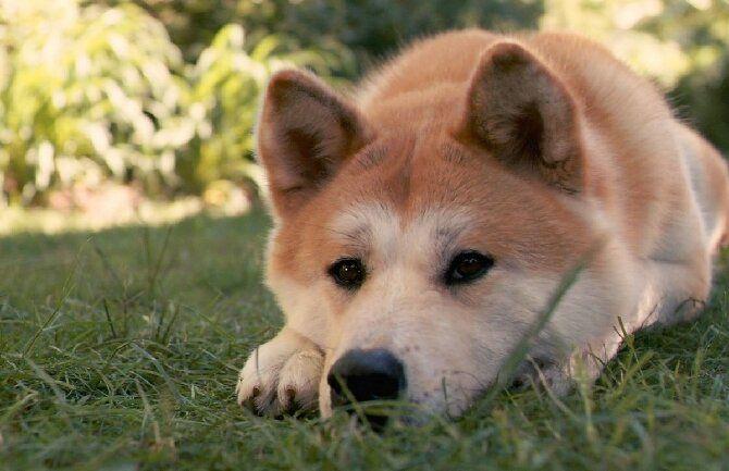 пес рыжий