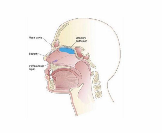 Вомероназальний орган