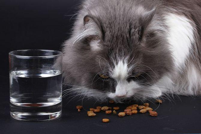 кіт їсть сухий корм