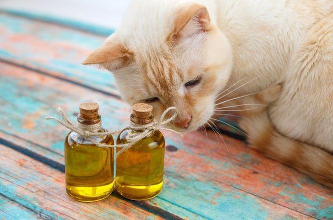 кіт та олія