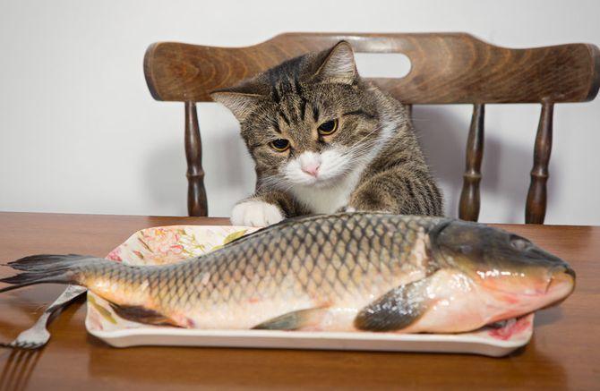 кіт  риба