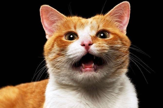 Чому кіт верещить ночами