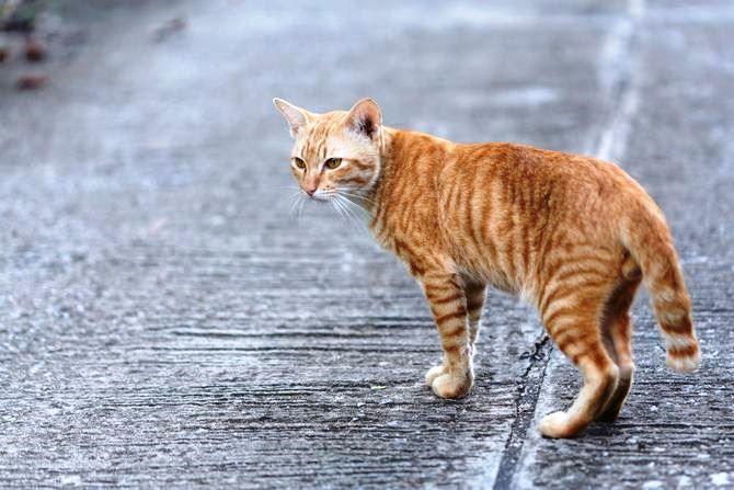 Чому йдуть коти